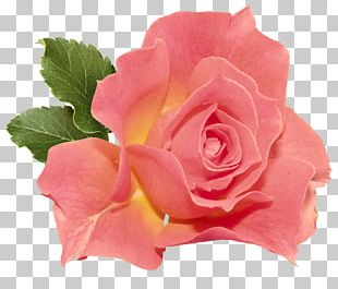 Rose Flower Orange PNG