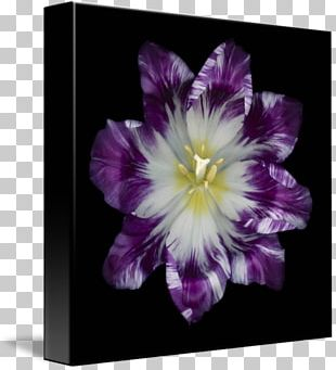 Black And White Violet Purple PNG