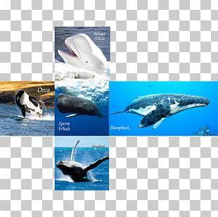 Wholphin Whales And Dolphins Of Aotearoa New Zealand Cetacea IPhone 6 Marine Biology PNG