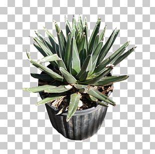 Agave Azul Succulent Plant Agave Angustifolia Agave Potatorum Agave Nectar PNG