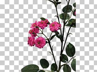 Cabbage Rose Garden Roses Cut Flowers Floral Design Petal PNG