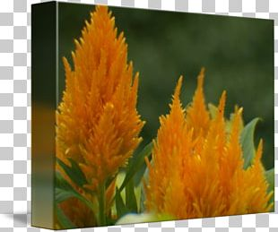 Annual Plant Herbaceous Plant Comb PNG