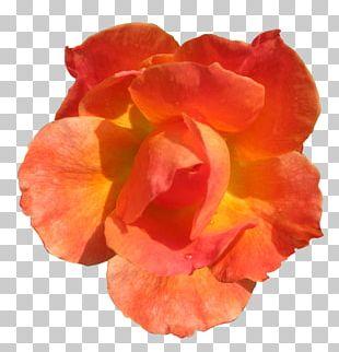 Orange Flower Rose Red PNG