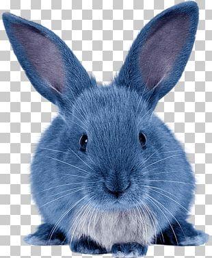 Domestic Rabbit Hare Angora Rabbit Holland Lop PNG
