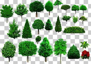 Tree Shrub Ornamental Plant Woody Plant PNG