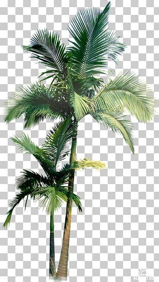 Arecaceae Palmier PNG
