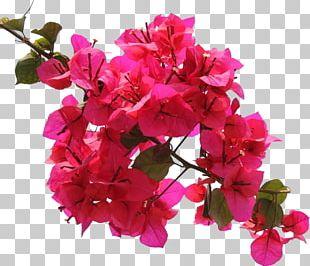 Bougainvillea Flower Ipomoea Nil Petal PNG