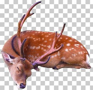 Sleeping Deer PNG