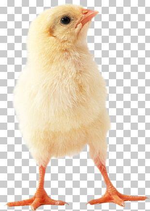 Chicken Meat Hen PNG