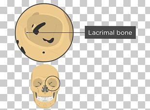 Orbit Skull Human Skeleton Anatomy Sphenoid Bone PNG
