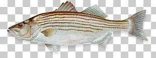 Hybrid Striped Bass Fishing PNG