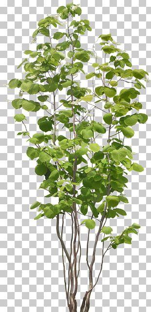 Populus Nigra Tree Plant PNG