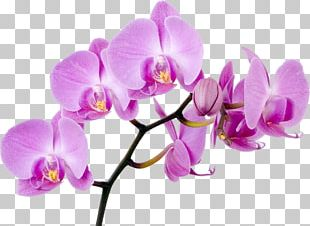Moth Orchids Flower Singapore Orchid PNG