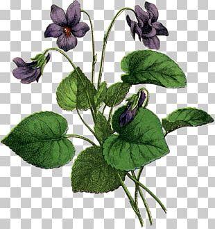 African Violets Drawing Botanical Illustration PNG