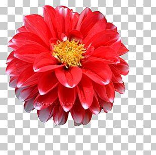 Dahlia Transvaal Daisy Chrysanthemum Cut Flowers Petal PNG
