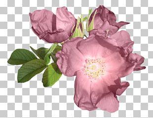 Centifolia Roses Garden Roses Purple Flower PNG