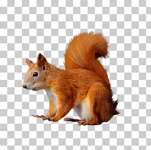 Raster Graphics Tree Squirrels Red Squirrel PNG