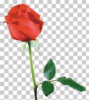 Beach Rose Cut Flowers Garden Roses Receptacle PNG