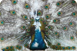 Feather Asiatic Peafowl Bird PNG