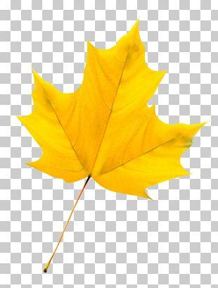 Maple Leaf PNG