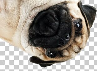 Pug Puppy Dog Breed Companion Dog Snout PNG