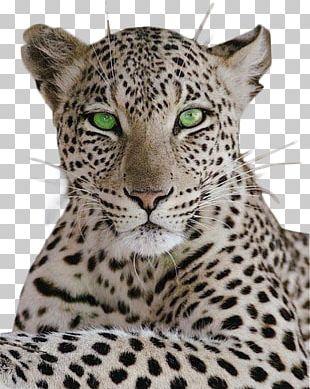 Leopard Cheetah Cat Black Panther Tiger PNG