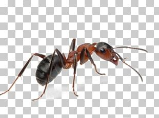 Argentine Ant Insect Pest Ant Colony PNG