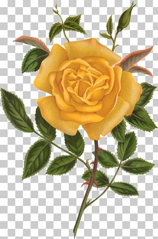 Beach Rose Yellow Flower Watercolor Painting PNG