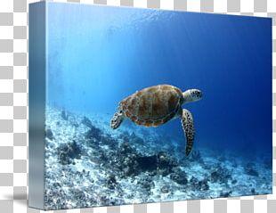 Loggerhead Sea Turtle Underwater PNG