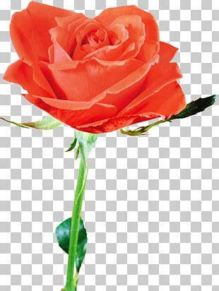 Flower Beach Rose Petal Red PNG