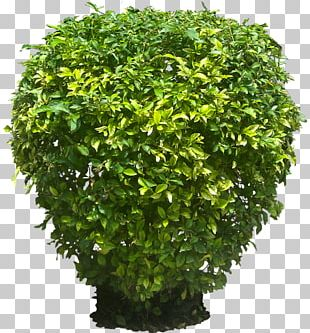 Golden Dewdrop Shrub Plant Tree PNG
