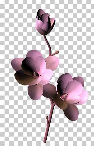 Moth Orchids Cut Flowers Pink M Magnolia Family Petal PNG