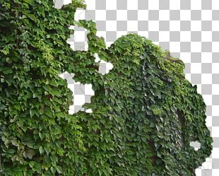 Parthenocissus Tricuspidata Virginia Creeper Common Ivy Vine Green PNG