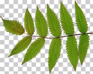 Look At Leaves Desktop PNG