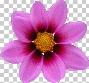 Cosmos Bipinnatus Flower Seed Annual Plant Petal PNG