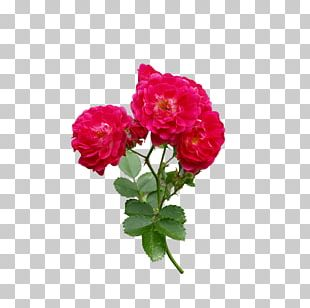 Rose Flower Red PNG