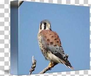 Finches Hawk Fauna Falcon Beak PNG
