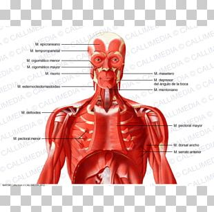Intercostal Muscle Human Body Neck Muscular System PNG