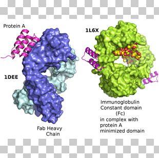 Protein A/G Immunoglobulin G Protein G PNG