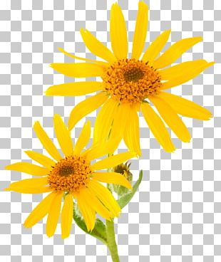 Mountain Arnica Essential Oil Cream Skin Care Therapy PNG