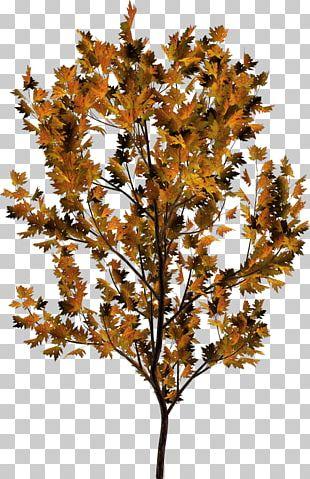 Twig Plant Stem Leaf Deciduous PNG