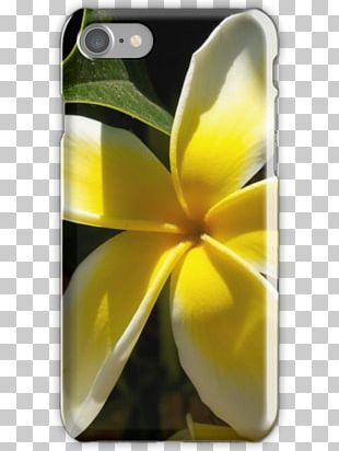 Flower Frangipani Photography Nature PNG