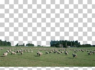 Sheep Cattle Goat Grassland Agriculture PNG