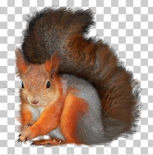 Tree Squirrels Photography PNG