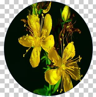 Hypericum Concussion Contact Sport Breathing PNG
