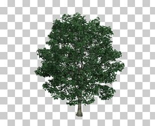 Tilia Platyphyllos Tree Drawing Illustration PNG