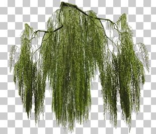 Weeping Willow Tree Branch Giant Sequoia PNG