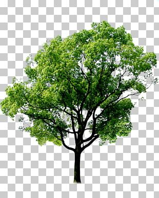 Tree Forest Plant PNG