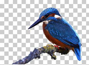 Bird Beak Parrot Domestic Pigeon PNG