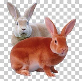 Domestic Rabbit Rex Rabbit Mini Rex Leporids PNG